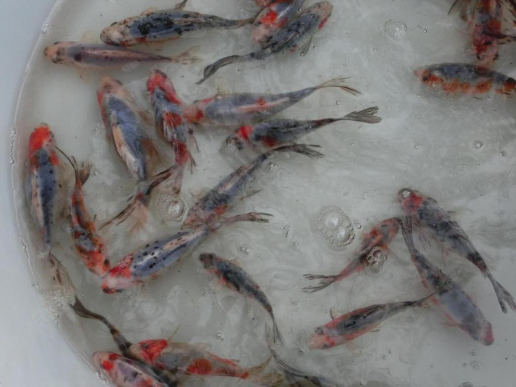 Fischzucht gebhard koi st re shubunkin goldorfen in for Zierfische im teich